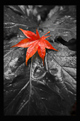 Red leaf on Black and White leaf
